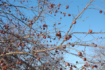 Crabapple_tree_feb2010